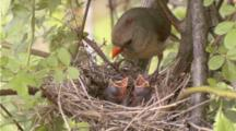 Female Cardinal Feeding Young At Nest