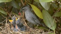 Gray Catbird Feeding Young At Nest In Rhododendron Shrub