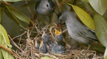 Gray Catbird Feeding Young At Nest In Rhododendron Shrub 2