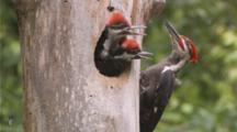 Pileated Woodpecker Feeding Young At Nest Cavity