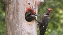 Pileated Woodpecker Feeding Young At Nest Cavity 3