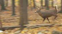 White-Tailed Deer,Whitetail Bucks And Does Running In Autumn Woods (Slow Motion)
