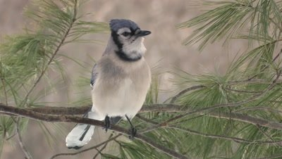 Blue Jay perched on white pine branch