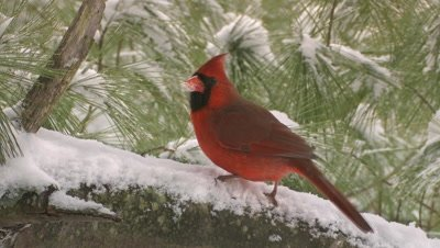Northern Cardinal: male in pine tree snowing
