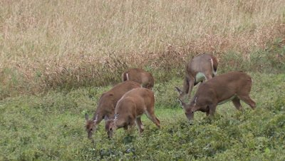 White-tailed deer (whitetail): Group of deer eating soybeans