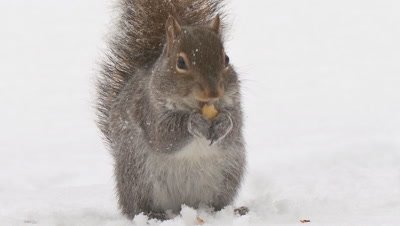 Gray (Grey) Squirrel eating acorn (snow)