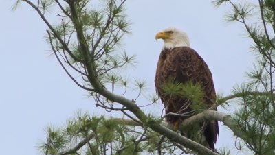 Bald eagle perched in white pine tree