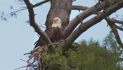 Bald eagle sitting on nest