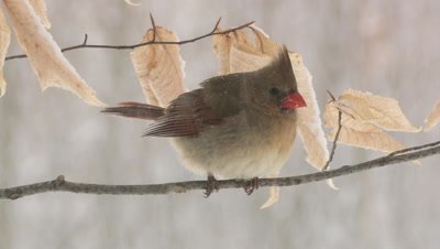Northern Cardinal: Female snowing