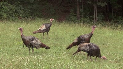 Wild Turkeys: toms feeding & alert