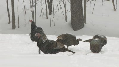 Wild Turkeys: toms eating (snowstorm)