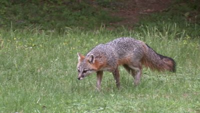 Gray Fox walks in field and chases doves