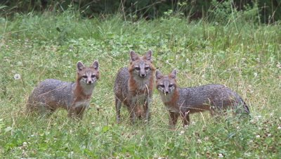Gray Fox adult and two kits in field alert and eats