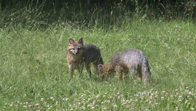 Gray Fox two adults in field alert and eat