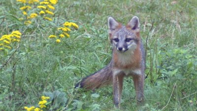 Gray Fox in field alert and eats (exit frame)
