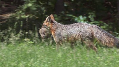 Gray Fox in field carrying young woodchuck
