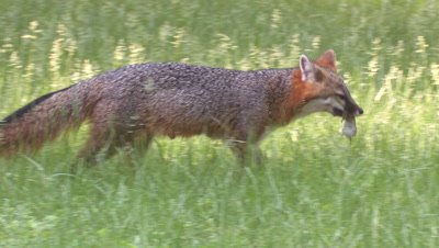 Gray Fox catches mouse in meadow