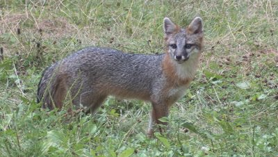 Gray Fox in field alert and eats (exits frame)
