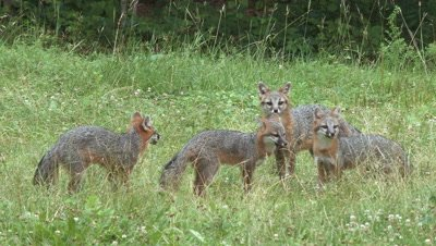 Gray Fox adult and older kits eating in field