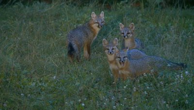 Gray Fox adult and kits in field alert and eats (night)