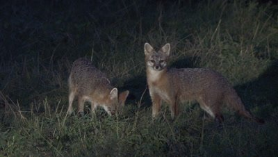 Gray Fox adult and older kit in field alert and eats (night)