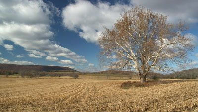 Corn Field (cut) and Sycamore tree: Time-lapse