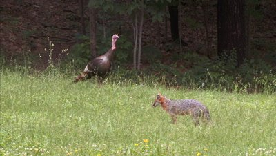 Wild Turkey toms alert in field watching gray fox