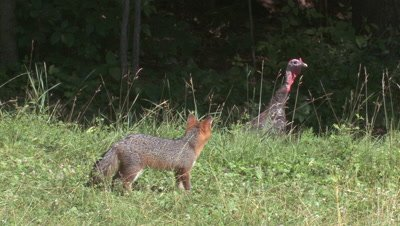 Wild Turkey toms walk in field watching gray fox