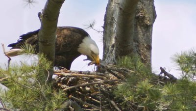 Bald Eagle feeding eaglet on nest