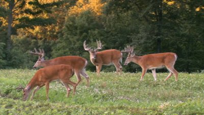 White-tailed deer (whitetail): Buck Group