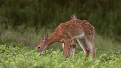 White-tailed deer (whitetail) fawns grazing in soybean field