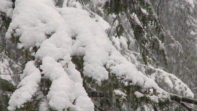 Hemlock Forest Snowstorm