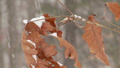 Oak Leaves Snowstorm