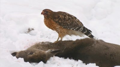Red-Shouldered feeding on whitetail deer carcass snowstorm