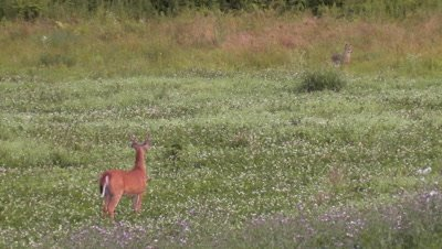 White-tailed Deer (whitetail) Buck Watching Coyote (eastern) In Field
