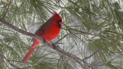 Northern Cardinal: Male snowing