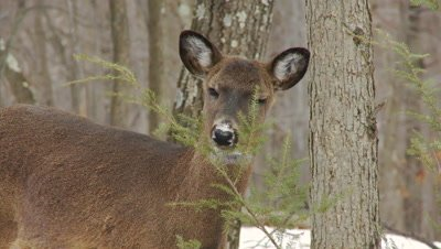 White-tailed deer (whitetail): Doe Eating Hemlock Boughs