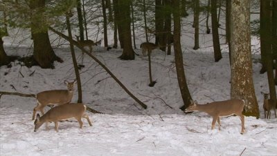 White-tailed deer (whitetails): Deer In Hemlock Forest (winter)