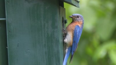 Eastern Bluebird perched on bird house