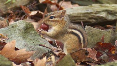 Eastern Chipmunk eating acorns