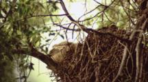 Great Horned Owls, Nest