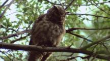 Great Horned Owls, Flys
