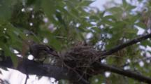 Robin's Nest, Chick