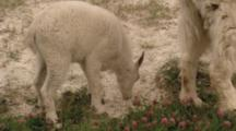 Mt. Goat, Young, Feeding