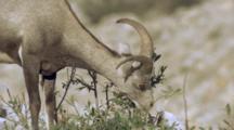 Stone Sheep Feeding