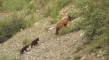 Black Bear, Climbs, With Cubs