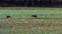 Turkeys, Feed Wild