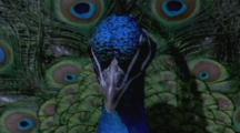 Peacock Displays ,