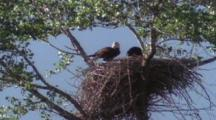 Eagle, With Young, Chicks