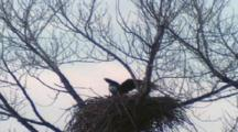 Bald Eagle, Nest Flying In With Fish